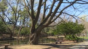 上の池とイタヤカエデの巨木