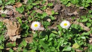 トキシラズ(ヒナギク)の花