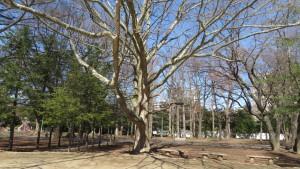 プラタナスの巨木