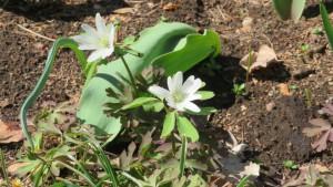 アズマイチゲの花