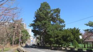 南1条通とヨーロッパクロマツの巨木