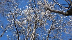 キタコブシの花