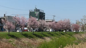 対岸の桜並木を望む