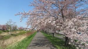 琴似川と琴似川緑地の桜並木