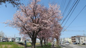 新川通と琴似川と琴似川緑地の桜並木