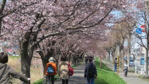 琴似川緑地の桜のトンネル