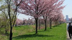 左岸側の桜並木