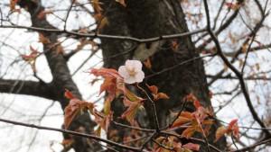 満州桜の花
