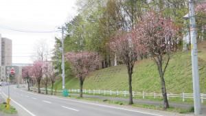 アンパン道路とエゾヤマザクラ並木
