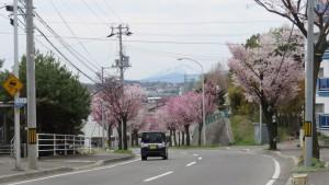 澄川通とエゾヤマザクラ並木と恵庭岳