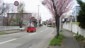 澄川通とエゾヤマザクラ並木