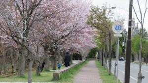 平岡公園のエゾヤマザクラ並木