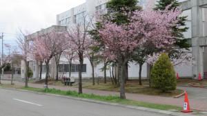 エゾヤマザクラ並木と平岡公園小学校