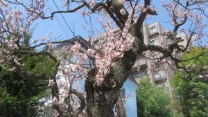 ウメの花【市道南2条線】