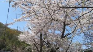 龍興寺のソメイヨシノ