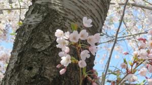ソメイヨシノの花【龍興寺】