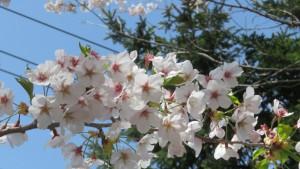 ソメイヨシノの花【南円山さくら公園】