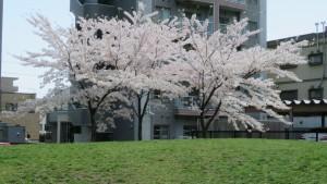 ソメイヨシノ【南円山さくら公園】