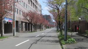 市道南4条線(南4条さくら通り)のヤエザクラ並木