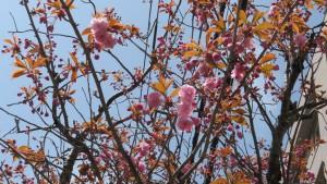 ヤエザクラの花【市道南4条線】