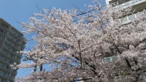 ソメイヨシノ【市道南4条線】