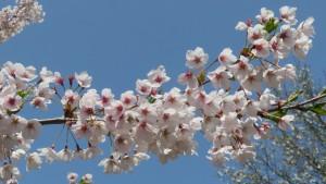 ソメイヨシノの花【教育文化会館】