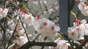 ブンゴウメの花【教育文化会館】