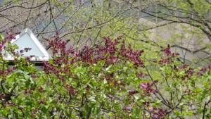 一部が開花したライラック【大通公園】