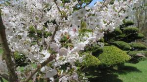 チシマザクラの花【道庁赤レンガ】