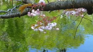 北の池とヤエザクラ'フゲンゾウ'【道庁赤レンガ】