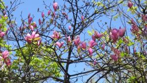 サラサモクレンの花【大通公園】