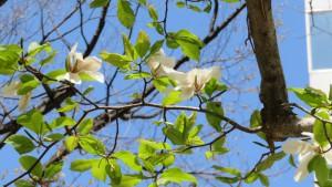 キタコブシの花【大通公園】