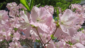 クロフネツツジの花【南円山さくら公園】