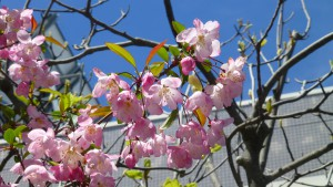白石東地区センター前のヤエザクラの花【白石東地区センター】