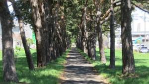 アカマツの並木【大谷地緑地】
