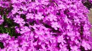 ピンクのシバザクラの花【大谷地流通団地東側緑地】