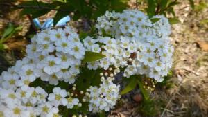 コデマリの花【白石藻岩通】