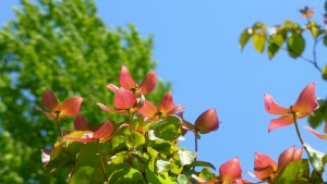 ベニバナヤマボウシの花(総苞片)【白石藻岩通】